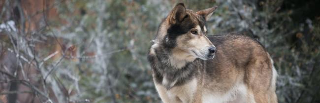 2015-cherokee-detour-wolf